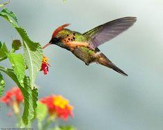 Trinidad: Male Tufted Coquette Hummingbird (Lophornis ornatus) by geoff-e, via Flickr