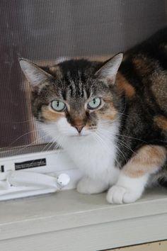 Fantasia • Cat • Calico • Adult • Female • Small Action For Animals Inc. Humane Society Latrobe, PA