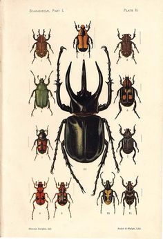 1910 Antique Insects Print Color Lithograph Scarabs by carambas