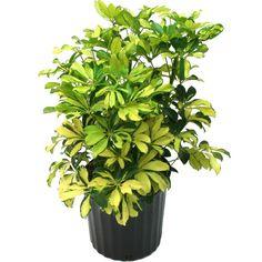 Delray Plants 8-3/4 in. Schefflera Trinette in Pot