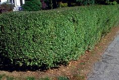 Amur Privet- fast growing privacy hedge, 12 feet tall, loves to be sheared neatly, grows in any soil conditions and in full or part sun, plant 1 1/2 feet apart for a hedge, winter hardy strain from siberia requiring practically no care, 100 plants for $43