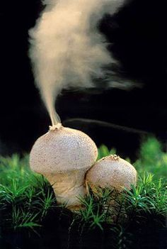 Purchawka chropowata (Lycoperdon perlatum) ejecting spores More known as Puffball mushroom - I remember these from playing in the woods as kid. Puffball Mushroom, Mushroom Fungi, Mushroom Species, Wild Mushrooms, Stuffed Mushrooms, Trippy Mushrooms, Slime Mould, Plant Fungus, Unusual Plants