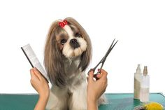 Beautiful shih-tzu dog at the groomers hands with comb and scissors - isolated on white Stock Photo , Dog Haircuts, Best Brushes, Shih Tzu Puppy, Shih Tzus, Pet Grooming, Grooming Shop, Puppy Care, Training Your Dog, Pet Shop