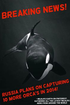 ** BREAKING NEWS ** RUSSIAN QUOTA ISSUED FOR 10 MORE ORCA CAPTURES! THIS WOULD LEAD TO MORE ORCA ENTERTAINMENT FOR AQUARIUMS AROUND THE WORLD, INCLUDING SEAWORLD! - Wildlife Earth on Pinterest, gathering all the latest wildlife news from around the WORLD!