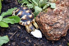 Tortoises need calcium in order to build strong bones, a strong shell, and healthy organs. Ideally, they are fed a widely varied diet of n. Tortoise Habitat, Baby Tortoise, Sulcata Tortoise, Tortoise Care, Tortoise Food, Russian Tortoise, Protein Rich Foods, Young Animal, Eat Fruit