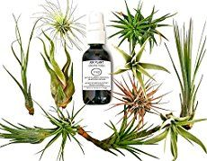 To revive a sick air plant that has been a tad neglected, shipped from far, far away, or just looking a little under the weather, this guide will show you how to perk it back up!