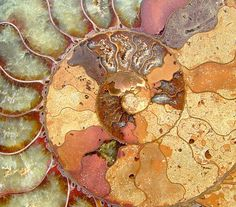 Beautiful ammonite