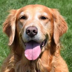 This is Allison - 6 yrs. She is spayed, current on vaccinations, potty trained, prefers a home with no young kids. She is new to rescue. Golden Retriever Rescue of the Rockies, CO. -  http://www.goldenrescue.com/component/hikashop/product/196-allie - https://www.petfinder.com/petdetail/29813117/