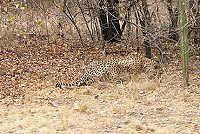 camophlage, cheeta