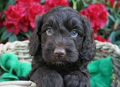 Training: The Labradoodle is intelligent and eager to please, making it straightforward to train. Labradoodles are able to learn a wide variety of unusual tricks. Labradoodles may attempt to outsmart their owners when they see an opportunity.