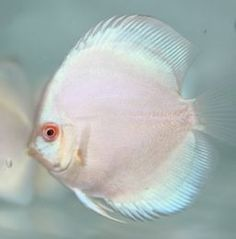 Blue Platinum Discus Fish Grade A Quality. Golden Base so there is no peppering in the coloring ever!