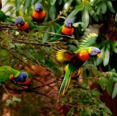 RAINBOW LORIKEETS  MORUYA NSW AUSTRALIA  BY PETER STYRING. This is how birds should be-wild and free~