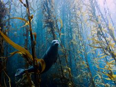 In the kelp forest (photographer Kyle McBurnie) Kelp Forest, Underwater Pictures, Water Dragon, List Of Animals, World Pictures, Photography Contests, Animals Images, Underwater Photography, The Real World