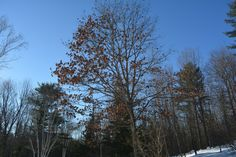 Did you know? Sometimes dead leaves stay on oak trees (Quercus rubra), even throughout the winter. Algonquin, Ontario - January - Bob Theoret