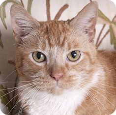 Chicago, IL - Domestic Shorthair. Meet Sophi, a cat for adoption. http://www.adoptapet.com/pet/18312649-chicago-illinois-cat