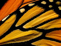 Monarch Butterfly Wings | Finely Tailored Wings | Flickr - Photo Sharing!