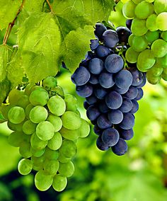 2 grapes in 2 varieties: 1 'Palatina' and 1 'Muscat Blue'