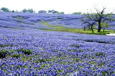 Texas Bluebonnets in the Spring. Nothing is the same kind of beautiful! Photo taken by Gloria Walker Smith for Houston Community Newspapers. Bluebonnets near Ennis, Texas. Ennis Texas, Only In Texas, Texas Bluebonnets, Texas Hill Country, Country Blue, Blue Bonnets, Belle Photo, Champs, Mother Nature