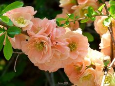 flowering quince falconnet charlet - Google Search