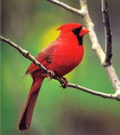 Northern Cardinal - Illinois