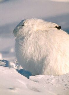The arctic hare (Lepus arcticus), or polar rabbit, is a species of hare which is adapted largely to polar and mountainous habitats. The arctic hare survives with a thick coat of fur and usually digs holes under the ground or snow to keep warm and sleep. Arctic Hare, Arctic Animals, Cute Animals, Beautiful Creatures, Animals Beautiful, Tier Fotos, Mundo Animal, All Gods Creatures, Fauna
