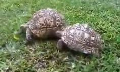Tortoise Helps Friend Who's Flipped Over (Video)...This turtle can teach us all a little something about kindness and friendship.