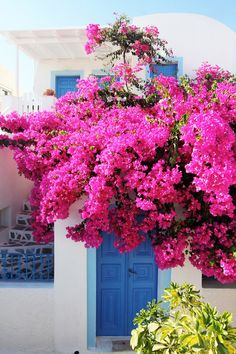 Pink Bougainvillea in Oia, Santorini, Greece