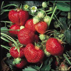 Spændt på om jordbærplanterne, der i forvejen står så fint i et lille hjørne af i vores have, giver noget til sommer...