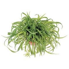 Our experts share hints and tips for growing this extra-easy houseplant. Plus we have spider plant pictures. Air Cleaning Plants, Chlorophytum, Spider Plants, Plant Pictures, Fresh Green, Indoor Plants, House Plants, Succulents, Herbs