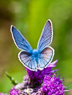 Blue Angel - butterfly and PURPLE flowers for M'Lady!