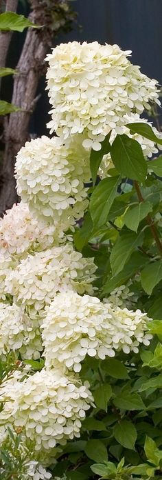 Hydrangea paniculata in front of the house