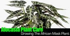 The Alocasia plant is an attractive foliage plant and houseplant capable of growing quite large if given enough humidity and extra light during the winter months. Its unique foliage make it an interesting houseplant and even more interesting in a landscape. Alocasia calls the South... #spr #sum