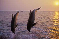 Bottlenosed Dolphin Two Leaping at Sunset