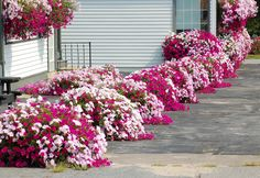 Petunia Flower Border, by David Beaulieu - three colors of petunias, growing in planters and window boxes.