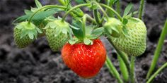 Jak pěstovat jahody? Podle desatera