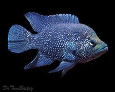 Scientific name: Paratilapia polleni (Bleeker; Common name: Black diamond cichlid Group: Cichlids Habitat: Africa; Cichlid Aquarium, Cichlid Fish, Discus Fish, Underwater Animals, Underwater Creatures, Colorful Fish, Tropical Fish, South American Cichlids, Monster Fishing