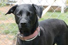 Sweet Mylie, heartworm negative, is out of time at high-kill upstate shelter