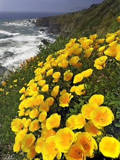 California Poppy (Eschscholzia californica) - I have a weakness for yellow flowers, so pretty!