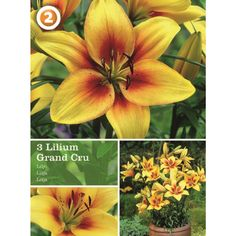 Vårløk Lilium Asiatic Grand Cru - Plantasjen.no