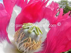 IN STOCK - Izmir Afghan GMO Opium 'Super DOUBLE YIELDING Poppy Seeds -  https://www.OrganicalBotanicals.com/product/izmir-afghan-special-papaver-somniferum-gmo-seed/  Modified to mature in half the time as ANY Papaver Somniferum poppies via @jdubtbird