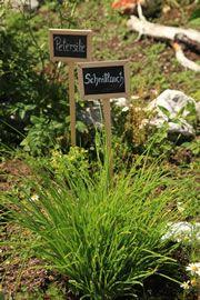 Olivenkraut - Vermehrung, Schneiden und Trocknen