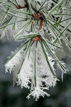 Winter ice crystals on pine needles. Already beautiful, but ZOOM to see details . Winter ice crystals on pine needles. Already lovely, but ENLARGE to see details . Winter ice crystals on pine needles. Already lovely, but ENLARGE to see details of this Winter Szenen, I Love Winter, Winter Magic, Winter Christmas, Deep Winter, Holiday, Christmas Tree Branches, I Love Snow, Ice Crystals