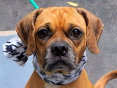 TO BE DESTROYED - 9/22/14 Manhattan Center -P My name is MUFASA. My Animal ID # is A1013963. I am a male tan and white pug mix. The shelter thinks I am about 5 YEARS old. I came in the shelter as a STRAY on 09/13/2014 from NY 11375, owner surrender reason stated was STRAY. https://www.facebook.com/Urgentdeathrowdogs/photos/a.611290788883804.1073741851.152876678058553/874340689245478/?type=3&theater