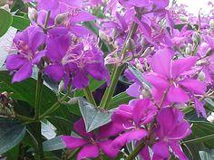 Tibouchina semidecandra - mgonline.com.  Growing outside the nook window on Bemis St.