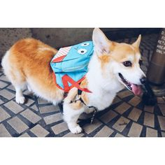 """ Friday, Friday, gotta get down on Friday  #RebeccaBlack #BackpackIsReady #sneakersthecorgi Vote for me to be the next Kendall Jenner! Click link in…"""