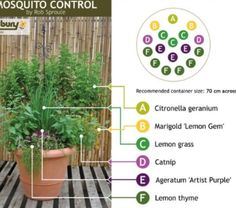 Mosquito repelling plants Salisbury, Container Gardening, Gardening Tips, Container Plants, Organic Gardening, Container Size, Mosquito Control, Bug Control, Mosquito Protection