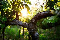 Grape Vines and Trunk in Late Spring Raisin, Grape Vines, Plants, Garden, Spring, Oak Tree, News, Board, Garten