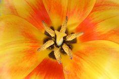 Tulip From My Garden - 24