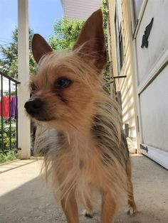 Lost Dog - Yorkshire Terrier Yorkie - Worcester, MA, United States 01609