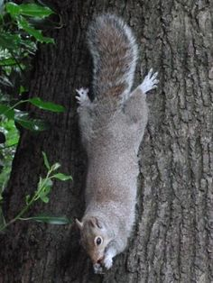 Cute squirrel hanging on a tree trunk by his back paws, eating a nut. From Clare Walker-BoundingSquirrel Designs